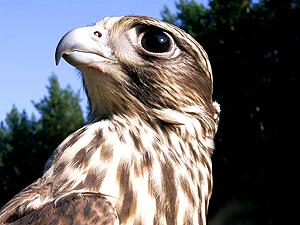 Питомник хищных птиц