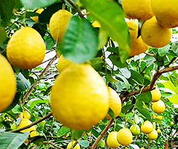 Лимонарий.
